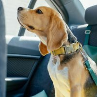Paws for thought…. avoiding road accidents and injury with dogs and other pets